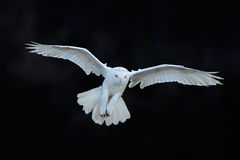 Snowy owl, Nyctea scandiaca, white rare bird flying in the dark forest, winter action scene with open wings, Canada. America royalty free stock images