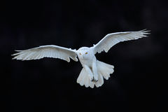 Free Snowy Owl, Nyctea Scandiaca, White Rare Bird Flying In The Dark Forest, Winter Action Scene With Open Wings, Canada Royalty Free Stock Photography - 70945957