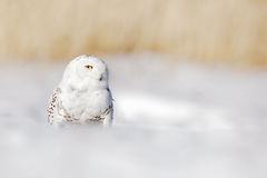 Snowy owl, Nyctea scandiaca, white rare bird with yellow eyes sitting on the snow during cold winter, with open bill, Finland. Win Royalty Free Stock Image
