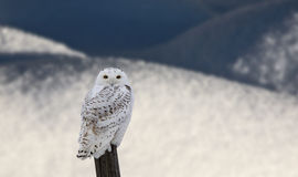 Snowy Owl On Fence Post Stock Photography