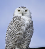 Snowy Owl. One juvenile Snowy Owl (bubo scandiacus Royalty Free Stock Photos