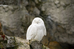 Snowy owl. Royalty Free Stock Photography