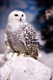 Snowy Owl. Outdoor at winter Stock Photography