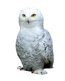 Snowy Owl over white Stock Photography