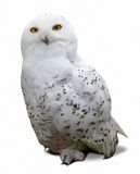 Snowy Owl  over white Stock Images