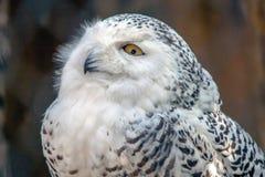 Snowy Owl Particular Lizenzfreie Stockfotografie