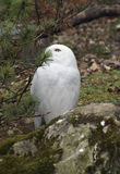 Snowy Owl partly hidden Royalty Free Stock Photo