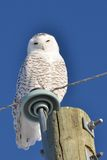 Snowy Owl perched Stock Photos