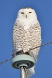 Snowy Owl perched Stock Images