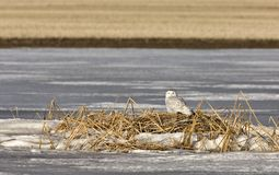 Snowy Owl Perched FrozenPond Stock Photos