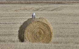 Snowy Owl Perched hay bale Royalty Free Stock Photos