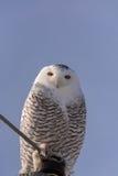 Snowy Owl Perched herauf Hoch Stockfotografie