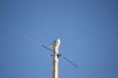 Snowy owl. Perched on a power pole Royalty Free Stock Image