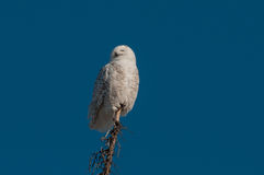 Snowy Owl. Perched on a tree top stock images