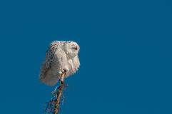 Snowy Owl. Perched on a tree top stock photo