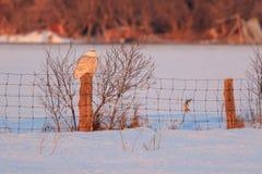 Snowy Owl Perching auf einem Beitrag im Winter Lizenzfreie Stockbilder