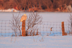 Snowy Owl Perching on a Post in Winter Royalty Free Stock Images