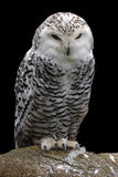 Snowy owl. Perching on stone with black background Stock Image