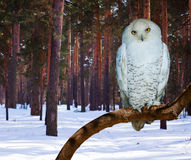 Snowy Owl at pine forest Stock Photography