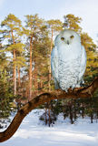 Snowy Owl at pine forest in winter Royalty Free Stock Photo