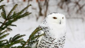 Snowy Owl in Pine Tree Video