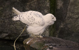 Snowy Owl Pooped Royalty Free Stock Images