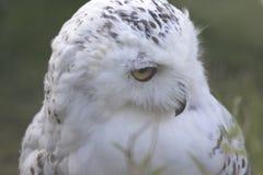 Snowy Owl Portrait Stockbild
