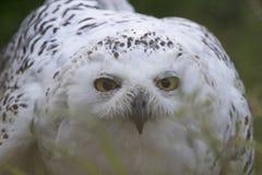 Snowy Owl Portrait Lizenzfreie Stockbilder