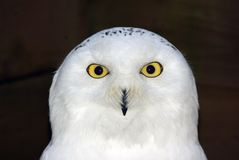 Snowy Owl Portrait Stock Image