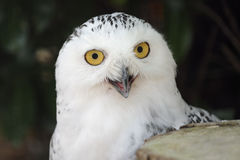 Snowy owl portrait. A snowy owl staring into the camera Royalty Free Stock Photo