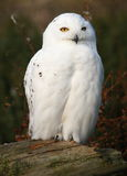 Snowy Owl portrait Royalty Free Stock Photography