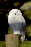 Snowy Owl Portrait Stock Photo