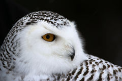 Snowy Owl Portrait Stock Images