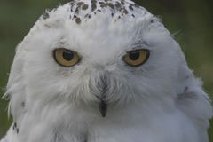 Snowy owl portrait Royalty Free Stock Image
