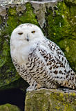 Snowy owl. Portrait Close Up royalty free stock image