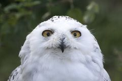 Snowy owl portrait Stock Photos