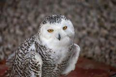 Snowy owl portrait. stock photography