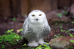 Snowy owl portrait Royalty Free Stock Images