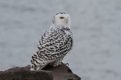 Snowy Owl. Portrait of a wild Snowy Owl perched on a rock break wall along a beach shore line of Lake Erie Royalty Free Stock Image