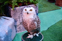 Snowy Owl portrait in the zoo Stock Images