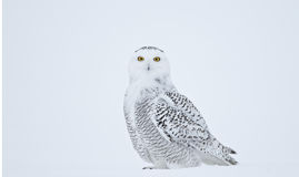 Snowy owl posing Royalty Free Stock Images