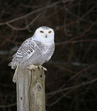 Snowy Owl on a Post Stock Image