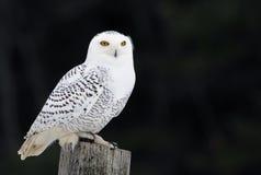 Snowy Owl on a Post Stock Photos