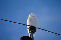 Snowy owl on Post Royalty Free Stock Photos