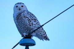 Snowy Owl on the Prairies Stock Photos