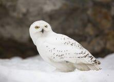 White polar owl. Stock Image