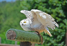 Snowy Owl. A snowy owl preparing to take off from a perch Stock Photo