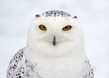 Snowy Owl Profile Stock Images