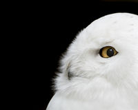 Snowy Owl. Profile Portrait of a Snowy Owl Against a Black Background Stock Image