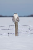 Snowy owl in Quebec Royalty Free Stock Image